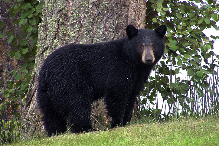 Creature Feature: American Black Bear