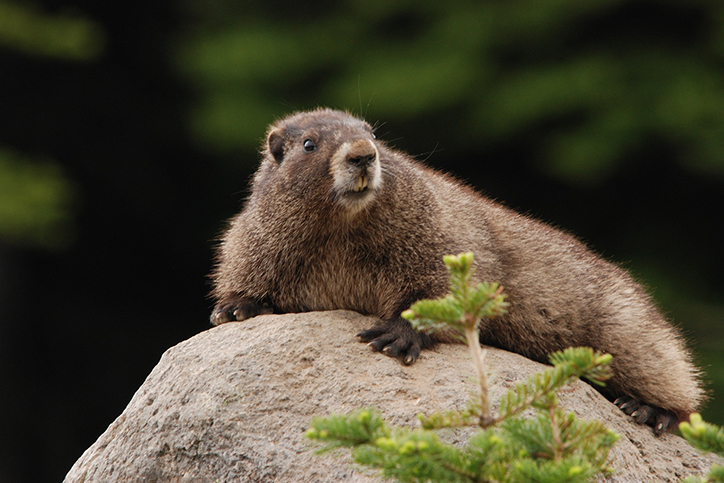 Creature Feature: Hoary Marmot