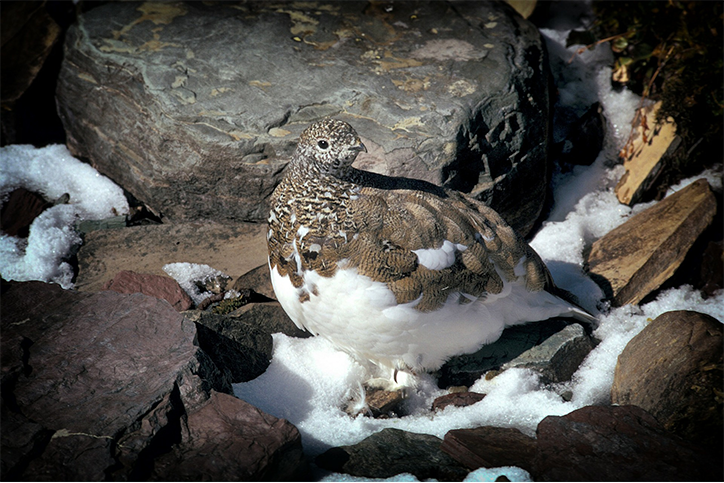 Creature Feature: White-Tailed Ptarmigan