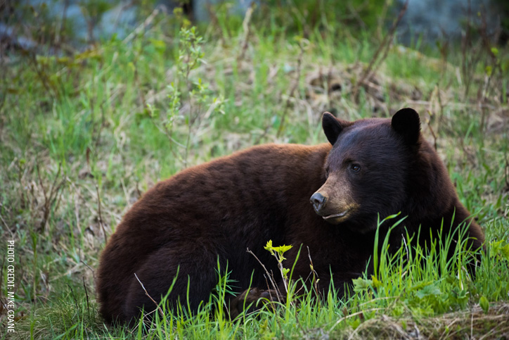 Whistler's Black Bears Have Emerged!