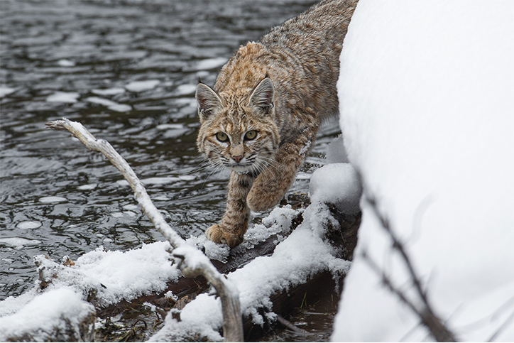 Creature Feature: Wild Cats of Canada