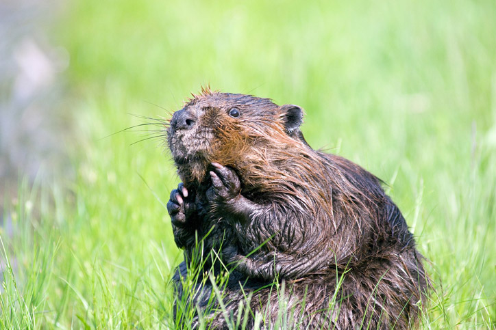 Creature Feature Canada 150 Edition: The Beaver