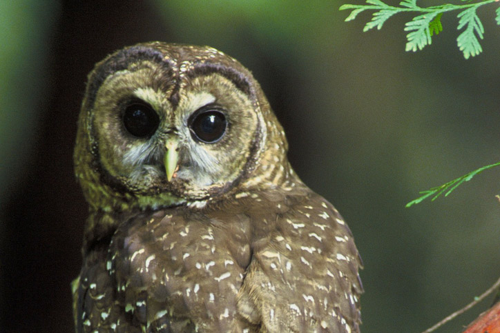 Creature Feature: Northern Spotted Owl